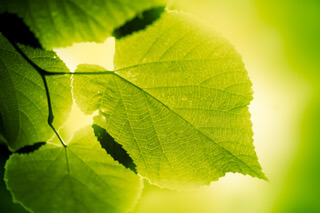 Green-large-leaves-lighten-from-behind-on-green-background-184834080_4368x2912-1 Massage Practice 101.  Reflection on what matters.